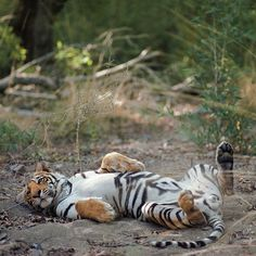 Butter wouldn't melt... on a tiger safari in India