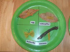 Butterfly life cycle with pasta noodles...