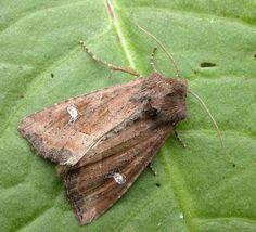 The Moths of Suffolk - 2368 Crescent, Celaena leucostigma, (Hübner, Mothman, Butterflies, British, Beauty, Butterfly, Beauty Illustration