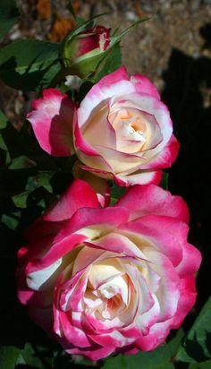 'Cherry Parfait' | Grandiflora, Floribunda Rose. Alain Meilland, 2000| Flickr - © Cap001 - Dan