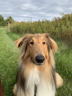 The Perfect Dog, Rough Collie, Bow Wow, Sheltie, Dogs And Puppies