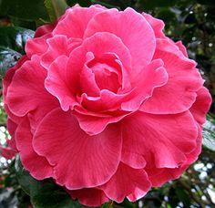 Camellia reticulata 'Valentines Day'