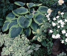 """'Frances Williams'.  I have.  Thick, puckered blue-green foliage with irregular chartreuse tips.  18"""" tall, 48""""wide.  Moderate slug resistance.  White flower. 1986."""