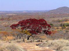 Spring Zimbabwe Msasa tree
