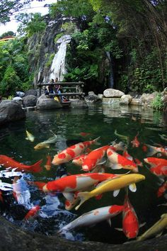 Fantastic garden pond with koi fish beautiful yards for Koi pond japan