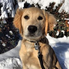 I'm from Minnesota, land of the cold air. #dog #dogs #katanddog #puppy #golden #goldenretriever #retriever #goldenretrieverpuppy