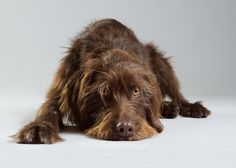 Wirehair pointing griffon?