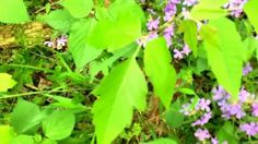 Plant identification - poison ivy (don't be tricked by it)