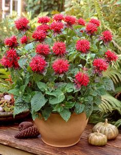 Beautiful Bee Balm looks great in a container! Patio Plants: Container Gardening with Perennials Container Plants, Container Gardening, Gardening Tips, Patio Plants, Outdoor Plants, Potted Plants, Bee Balm Plant, High Country Gardens, Pineapple Planting