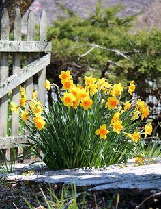 Daffodil Fence