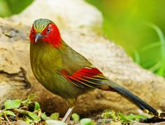 Red-faced Liocichla, Liocichla phoenicea, laughingthrush family, India