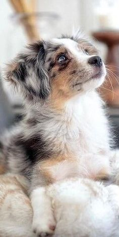 cute puppies & dogs - cute puppies & dogs The Exuberant Australian Shepherd S. cute puppies & dogs – cute puppies & dogs The Exuberant Australian Shepherd Size Super Cute Puppies, Cute Baby Dogs, Cute Little Puppies, Cute Dogs And Puppies, Doggies, Funny Puppies, Funny Dogs, Adorable Dogs, Puppies Puppies