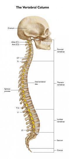 Laminas del Cuerpo Humano: Columna vertebral. 7 vertebras cervicales ...