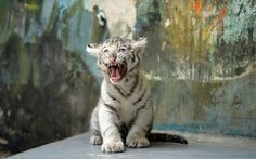 ...One of the eight-week-old white tiger cubs growls after a medical examination at Bratislava Zoo in Slovakia