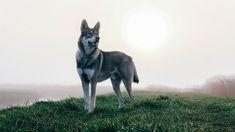 Raven - Saarloos Wolfdog Saarloos, Wolfdog, Wolves, Raven, Dogs, Animales, Pet Dogs, Wolf, Ravens