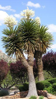Palm or Faxon Yucca / Yucca faxoniana (Abq NM)
