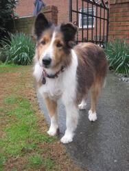 Kady is an adoptable Shetland Sheepdog Sheltie Dog in Alpharetta, GA. Make a donation in this dog's name at www.angelsrescue.... An Adoption Application for this dog can be found on our...