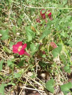 snap dragon vine, along Queen Creek, Boyce Thompson Arboretum