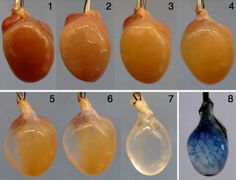 A group of University of Pittsburgh scientists demonstrated in August that a mouse heart stripped of its own cells and repopulated with human stem cells ca Regenerative Medicine, Biochemistry, Teaching Science, Stem Cells, Science And Technology, Pills, The Cure, Engineering, Heart