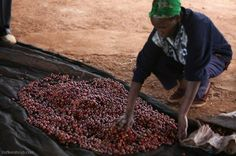 #coffee Big moves in Kenya could stir things up http://dailycoffeenews.com/2014/01/14/farmers-in-renowned-kenyan-region-nyeri-fight-government-centralization-plan/