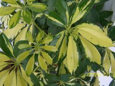 Schefflera dwarf variagated, does well at north side of house with strong ambient lighting.  Watered weekly with weak fertilizer, slow grower, trimmed when it grows too big for area.