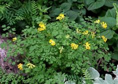 Corydalis lutea The correct name now is Pseudofumaria lutea Plants grow 10 inches tall with 1 inch flowers that look like a yellow bleeding heart. freeze seed for 2 weeks before sowing. Once established plants will freely self sow around the garden. Graduation Party Invitations, Tall Plants, Flowers Perennials, Flower Seeds, Freeze, Evergreen, Peonies, Bloom, Yellow