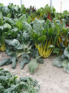 Chard in the hoophouse survived a deep freeze.