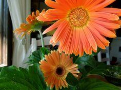 Gerberas Photograph, Plants, Photography, Photographs, Plant, Planets, Fotografia, Fotografie