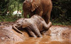 Bebê elefante órfão aproveita um banho de lama em uma poça no Orfanato de Elefantes David Sheldrick, no Parque Nacional de Nairóbi, perto da capital do Quênia. Os filhotes crescem no centro até 8 a 10 anos de idade e depois são reinseridos na natureza