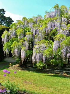 Wisteria overgrows a summer house, Exbury Gardens, New Forest,Hampshire, England All Original Photography by http://vwcampervan-aldridge.tumblr.com Please visit my other blog, I can reblog your photos there -http://st4rtedlate.tumblr.com