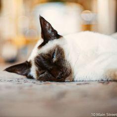 Photo by Joelle K 💮 on July 25, 2020. L'image contient peut-être: chat et intérieur, texte qui dit '10 Main Street' Joelle, Siamese Cats, Oui, Keep It Cleaner, Animals, Chalk Painting, Animais, Animales, Siamese Cat