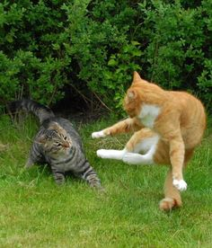 猫のけんかが必死すぎて笑いを誘う!リアル・キャットファイト決定版/2013年1月3日 - 気になる - クランクイン!