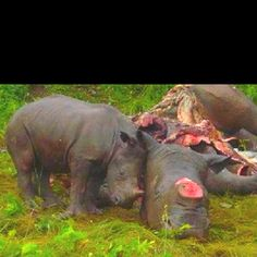 A baby rhino grieving for his mother. YES, poachers are still killing for Rhino horns! There are only and estimated Rhinos left. Help by simply sharing this. Make people care. Show your love for animals and Africa Mon Combat, Rhino Poaching, Save The Rhino, Baby Rhino, Baby Elephant, Trophy Hunting, Stop Animal Cruelty, Save Animals, Animal Welfare