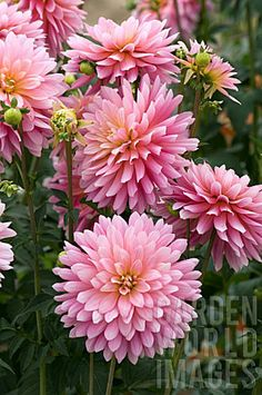 "Dahlia 'Adelaide Fontane' (6-8"" bloom; 3-4' bush): pink and yellow blends; decorative."