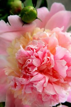 Peony flowers which will forever remind me of the peoni dress my mom made for Chloe. Love!!