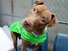 """TO BE DESTROYED  3/6/14 Manhattan Center. My name is SCARLETT. My Animal ID # A0991939. I'm a female brown pit bull mix about 2 YRS. Volunteer writes: I said """"good girl"""" so many times when I was w/Scarlett! She's such a sweetheart & so anxious to please & so well mannered and lovely"""