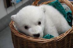 Cute Newborn Polar Bears | cute baby polar bear pictures 4