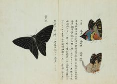 OPEN YOUR EYE - Lepidoptera by Keisuke Ito, c. 1850s Actias...