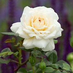 Beautiful White Rose -- Elegant! :-)