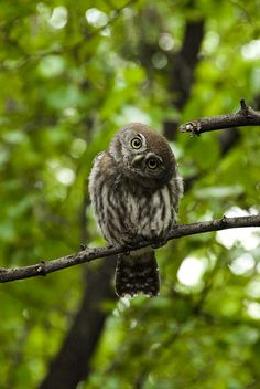 Pearl Spotted Owl   by jjay69