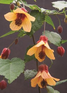 74 Best Abutilon Images In 2019 Plants Hibiscus Planting Flowers