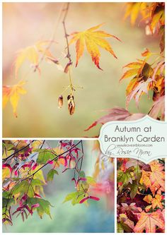 Autumn at Branklyn Garden, Perthshire, Scotland ... more on the blog http://www.leavesnbloom.com/2014/12/autumn-colour-branklyn-garden-2014.html