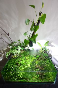 Tom's Bucket O' Mud (semi self-sustaining aquarium) - Page 20 Aquarium Terrarium, Nature Aquarium, Planted Aquarium, Aquarium Fish, Aquascaping, Biotope Aquarium, Indoor Water Garden, Betta Fish Tank, Aquarium Design