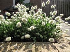 "Lagurus ovatus ""Bunny Tails"" – Best Home Plants Boxwood Garden, Home Garden Plants, Patio Plants, House Plants, White Gardens, Small Gardens, Shadow Plants, Perfect Plants, Garden Care"