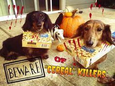 "Cheesie&Truffle | Father&Son on Instagram: ""BEWARE!!! ""CEREAL"" KILLERS ON THE LOOSE!!  #cheesietruffleUSA #dachshund #halloween #halloweenies #halloweenie #doxies #13daysofHalloweenie #weenteam #dachshunds #WeenTeamHalloweenie @weenteam"""