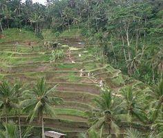 Rice field at Tegalalang Village