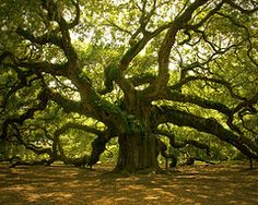 Tree, Johns Island, Charleston, South Carolina                             Also like this on St Simon's & Jeckyl Island Georgia