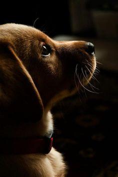 la beaute du Teckel , race de chien taille moyen: