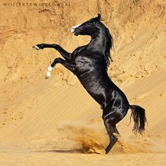 stallion MORMUKUT (Sunder - Manak) Owner: Mandawa Stables, Shekhawati (Rajasthan, North India) ©Wojtek Kwiatkowski Photography 2017