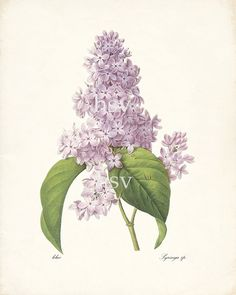 Lilac   Redoute Natural History Botanical by HighStreetVintage, $15.00